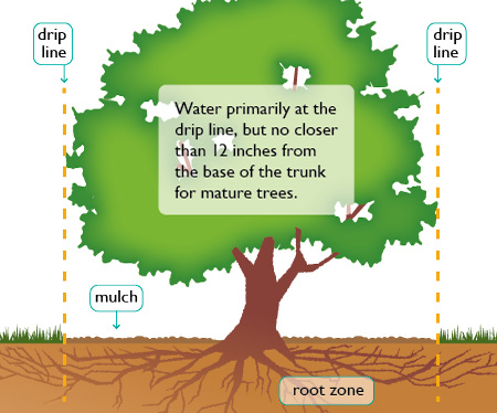 How to water trees