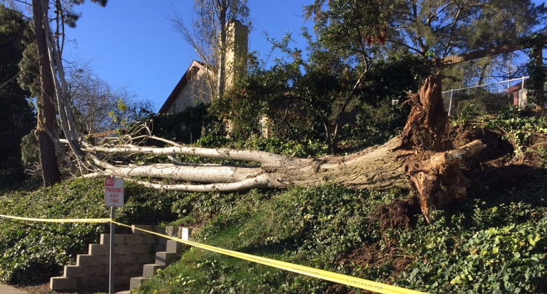 Fallen Tree in Vallejo - courtesy of KQED website