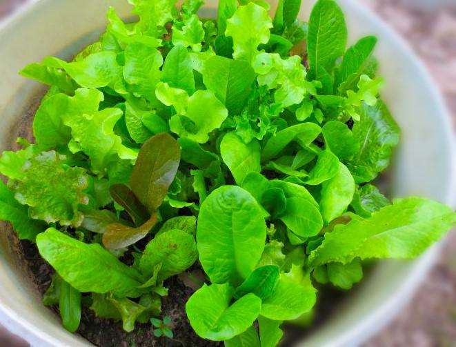 lettuceuse