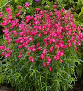 Penstemon Carillo Red, native great for cut flowers