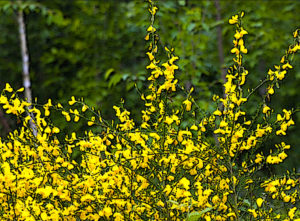French or Scotch Broom
