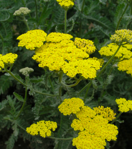 Achillea Moonshine or Yarrow is a drought tolerant perennial