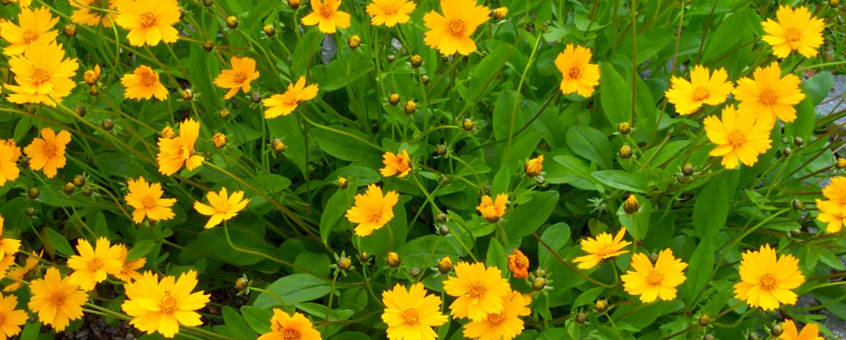 Coreopsis Perennial